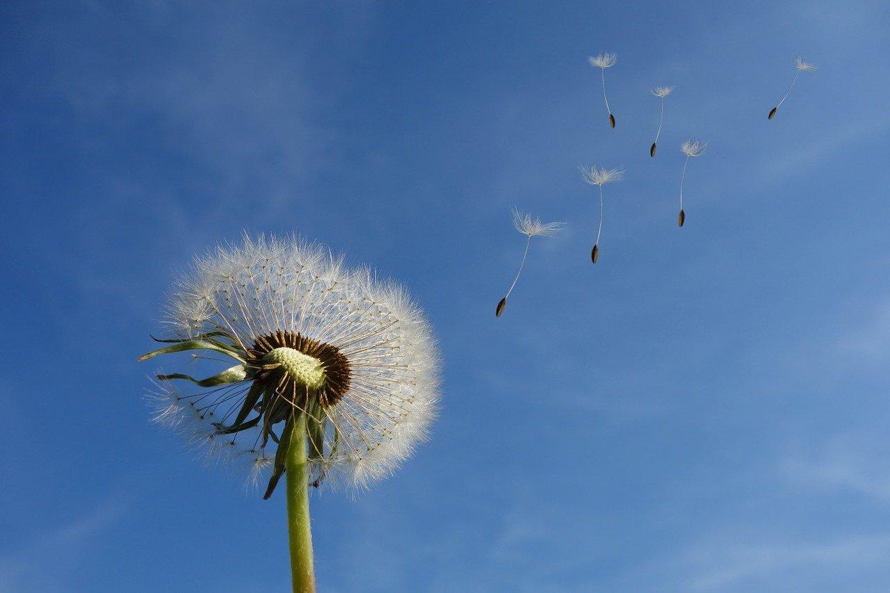 Pusteblume mit Samen im Himmel