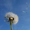 Pusteblume als Symbol für Hinterbliebenenschutz