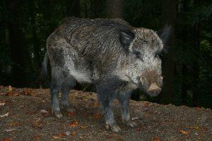Wildschwein beim Wildwechsel im Herbst